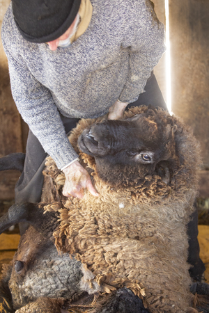 Experienced, professional  sheep shearer manually  positioning a ram at a barn in East Windsor, Connecticut, in early March just before lambing season. 写真素材