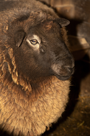 Domestic ram, Ovis aries, at a barn in East Windsor, Connecticut, in early March just before lambing season. Stock fotó - 119612152