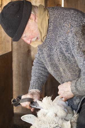 Experienced, professional  sheep shearer manually  shearing a ewe with steel bladed shears at a barn in East Windsor, Connecticut, in early March just before lambing season. Stock fotó - 119612153