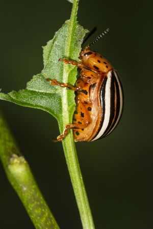 False potato beetle, Leptinotarsa juncta, eating a leaf in South Windsor, Connecticut, in late summer.