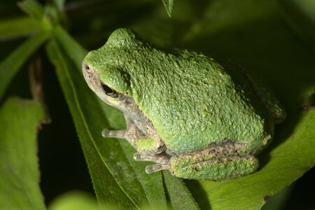 Gray tree frog, Hyla versicolor, sitting on a fern leaf in South Windsor, Connecticut, in late summer.