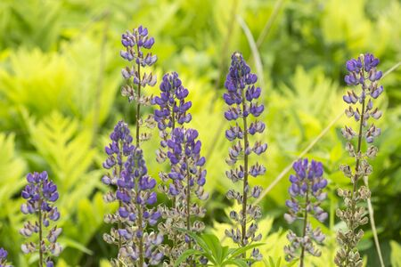 Lupine flowers, Lupinus perennis, in the Belding Wildlife Management Area in Vernon, Connecticut.