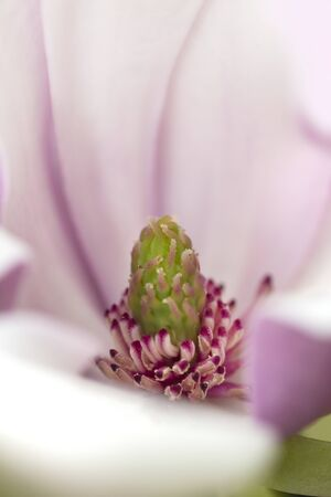 Magnolia blossom, Magnolia grandifrons, blooming in Wickham Park in Manchester, Connecticut. 写真素材