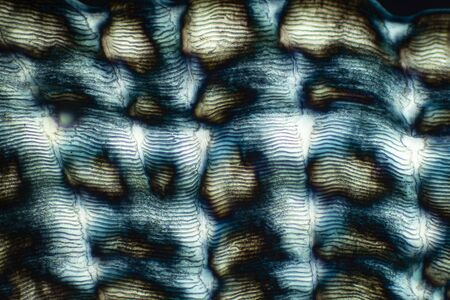 Colorful, abstract micrograph of fish scale, northern red snapper, Lutjanus campechanus, with polarization at 40x. Foto de archivo - 129215911