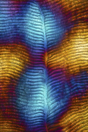 Colorful, abstract micrograph of fish scale, northern red snapper, Lutjanus campechanus, with polarization at 100x. Stock fotó - 129215928