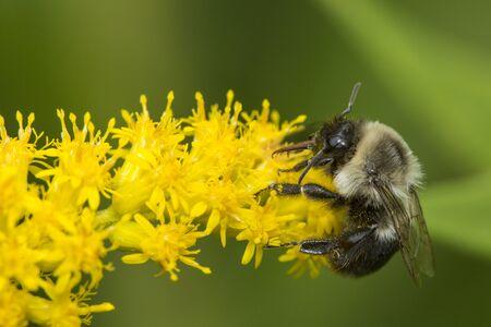 Abejorro, Bombus sp., Con probóscide extendida, alimentándose de una flor de vara de oro en The Fells en Newbury, New Hampshire.