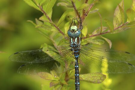 Closeup of a lance-tipped darner dragonfly, Aeshna constricta, on foliage at The Fells in Newbury, New Hampshire. Foto de archivo - 130852935