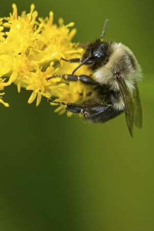 Bumble bee, Bombus sp., foraging on a goldenrod flower at The Fells in Newbury, New Hampshire. Foto de archivo - 130852965