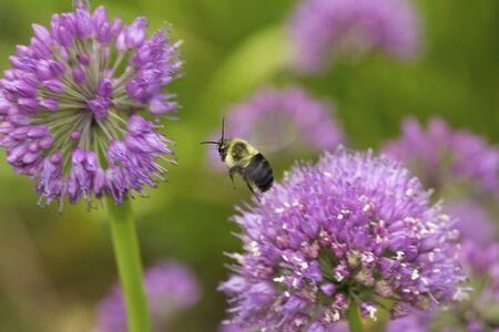 Bumblebee in flight between two lavender allium flowers at The Fells in Newbury, New Hampshire.