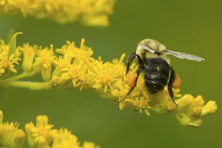 Bumble bee, Bombus sp., with orange pollen baskets foraging on a goldenrod flower at The Fells in Newbury, New Hampshire.