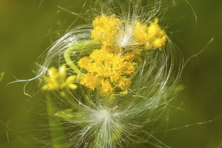 Goldenrod flowers, Solidago, with milkweed silk at The Fells in Newbury, New Hampshire. Foto de archivo - 130852980