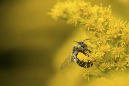 Plasterer bee, Colletes fulgidus, on goldenrod flowers at The Fells in Newbury, New Hampshire. Foto de archivo - 130852982