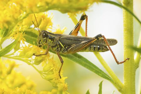 Spur-throated grasshopper, probably Melanoplus, on goldenrod flowers at The Fells in Newbury, New Hampshire. Stock fotó