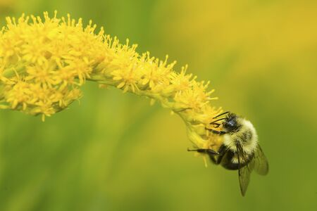 Bumble bee, Bombus sp., foraging on a goldenrod flower at The Fells in Newbury, New Hampshire. Stock fotó
