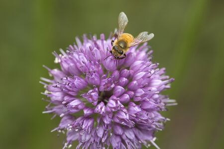 Closeup of a honey bee foraging on a lavender allium flower at The Fells in Newbury, New Hampshire. Foto de archivo - 130852996