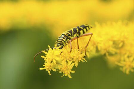 Locust borer beetle, Megacyllene robiniae, on goldenrod flowers at The Fells in Newbury, New Hampshire. Foto de archivo - 130853005