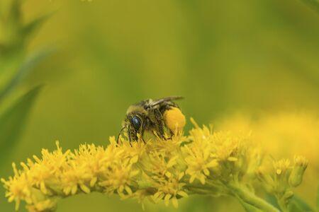 Plasterer bee, Colletes fulgidus, on goldenrod flowers at The Fells in Newbury, New Hampshire. Foto de archivo - 130853007