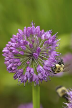 Bumblebee foraging on a lavender allium flower at The Fells in Newbury, New Hampshire.