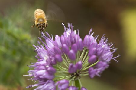 Honey bee in flight, preparing to land on a lavender allium flower at The Fells in Newbury, New Hampshire. Foto de archivo - 130853026