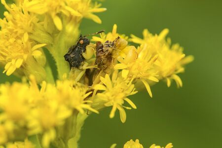 American jagged ambush bugs, Phymata sp., mating on goldenrod flowers at The Fells in Newbury, New Hampshire.