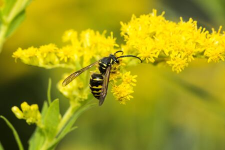 European paper wasp, probably Polistes dominulus, on goldenrod at The Fells in Newbury, New Hampshire. Stock fotó