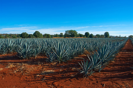 Agave landscape Stock Photo