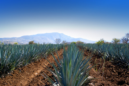 agave: Agave field