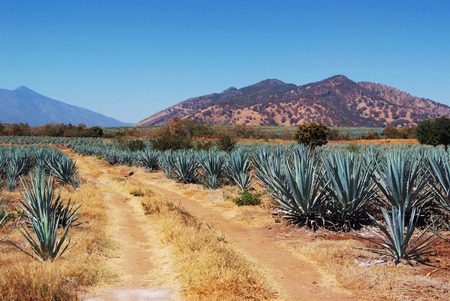 tequila: Lanscape tequila mexico