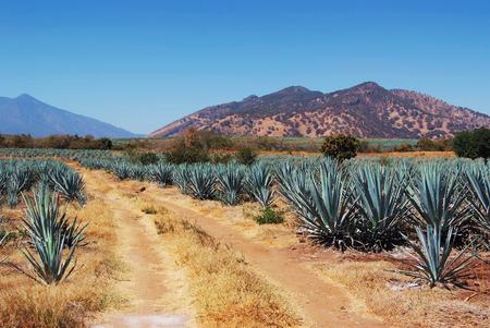 agave: Tequila Lanscape México