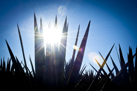 ry: Back light tequila agave landscape Stock Photo