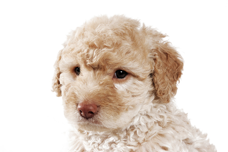 a brown french poodle looking at camera in white background