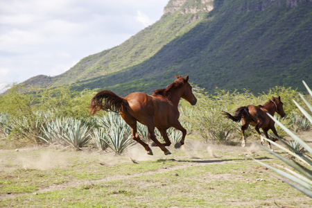 Horse running in a Tequila landscape with mountain in the back.  Jalisco, Mexico.
