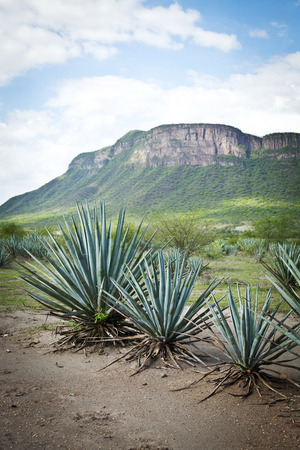 ry: Agave tequila landscape to Guadalajara, Jalisco, Mexico.