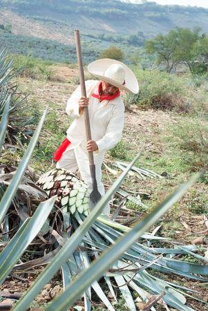 典型の Jimador 男メキシコ ハリスコ州テキーラのリュウゼツラン業界のフィールドを使用します。