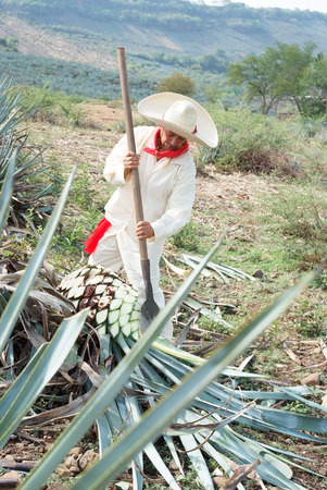 plowing: Tipical Jimador man working the field of  agave industry in Tequila, jalisco, Mexico. Stock Photo