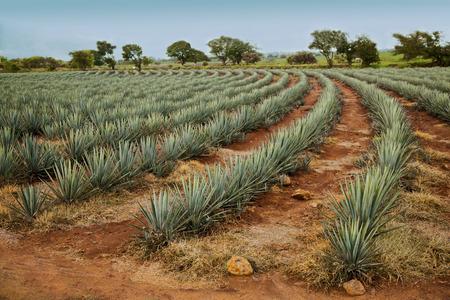 グアダラハラ、ハリスコ州、メキシコにリュウゼツラン テキーラの景観。