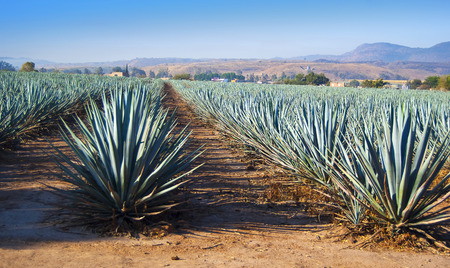 sharp: Agave tequila landscape to Guadalajara, Jalisco, Mexico.