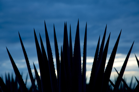 jalisco: Agave tequila landscape back light whit blue sky to Guadalajara, Jalisco, Mexico. Stock Photo