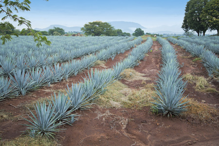 Agave tequila landscape to Guadalajara, Jalisco, Mexico.