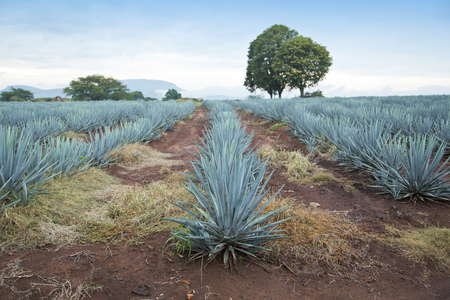 agave: Agave tequila landscape to Guadalajara, Jalisco, Mexico.
