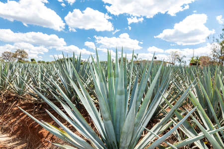Landscape of agave plants to produce tequila. Mexico.