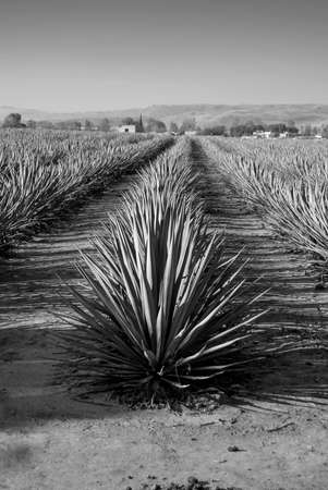 Landscape of agave plants to produce tequila. Mexico. Black and white. 免版税图像