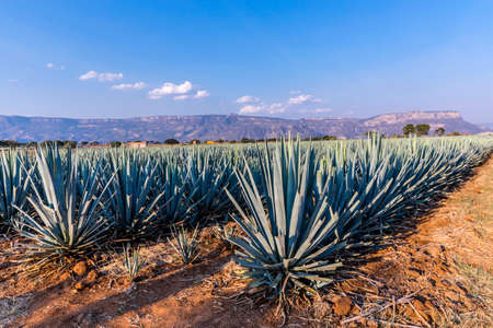 Landscape of planting of agave plants to produce tequila Foto de archivo