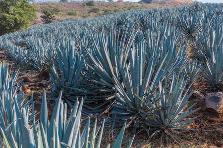Agave tequila landscape near to Guadalajara, Jalisco, Mexico.