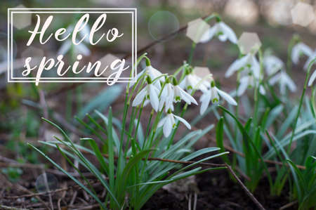 Hello spring. Background of blooming snowdrop. Spring flower. The first breath of spring. Archivio Fotografico