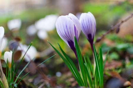 Blooming blue crocus. Spring flower background. Fresh growing crocuses.