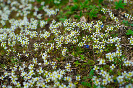 Little white wildgrowing spring flowers. Nature background. Blooming spring flowers. Archivio Fotografico