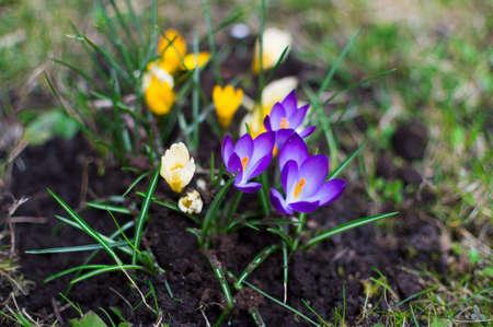 Crocus in the garden on sunlight day. Saffron bloom. Spring background.