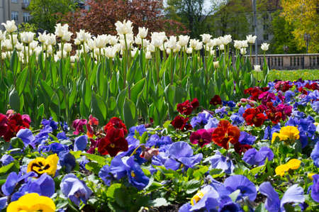 Colourful pansies and white tulips flowerbed background in an spring garden. Close up.