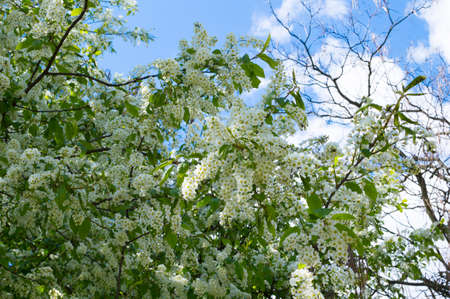 Branches of blooming bird-cherry in front of blue sky. Copy space.